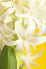White hyacinth close-up