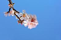 Almond blossom in springtime