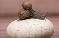 Two gardensnails on a stone
