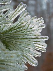 Pine needles under ice