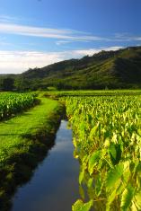 Taro field Kauai Hawaii