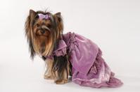 Small lap dog in purple velvet dress