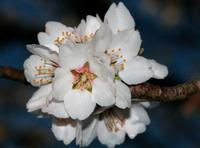 Almond Spring 1