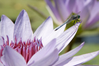 Blue dragonfly on lily