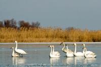 Flock of Swans on ice