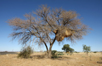 african tree