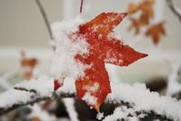 Snowy Leaf II
