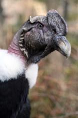 Andean Condor Profile