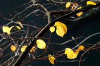 last yellow leaves