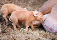 Tamworth Piglets Nursing
