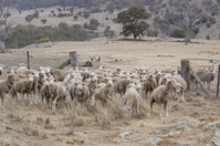 Australian flock of sheep in drought