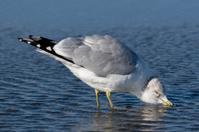 Ring-billed Gull (Larus delawarensis) Taking a Drink