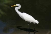 Great Egret (Ardea alba) White On Black