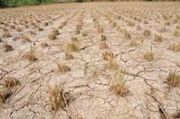 rice paddy field