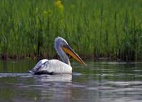 Dalmatian pelican on water