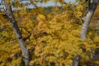 Bog hemlock