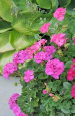 Geranium Blossoms and Hosta