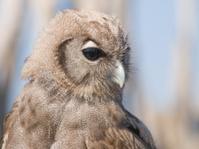 Big owl.