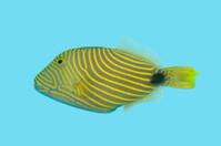 Orange Striped Trigger Fish