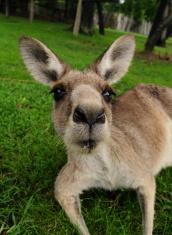 Nosey Kangaroo