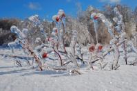 Rose Hips Frozen in Ice