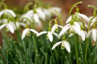 Snowdrop Garden