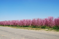Peach or Nectarine Orchard