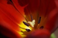 Big Red Tulip 4