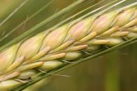 Ripening wheat Close-up