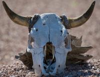 Desert Bull Skull