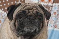 Portrait of Male Pug Dog