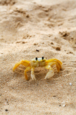 Fiddler Crab 2