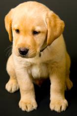Puppy Labrador retriever on black background