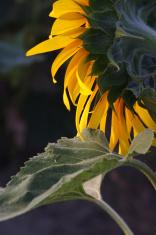 Sunflower in unusual foreshortening