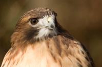 Red-tailed Hawk (Buteo jamaicensis) Portrait