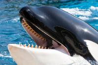 Killer Whale head