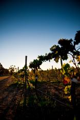 Vineyard Mclaren Vale Adelaide South Australia