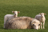 Two little lambs and mother sheep looking at you