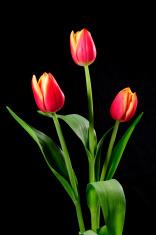 Three tulips.