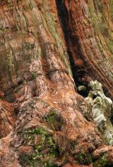 Old  sequoia bark