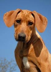 puppy Rhodesian ridgeback