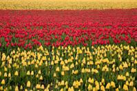 Spring Tulips, Skagit Valley Washington