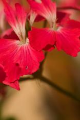 Red Imperial Geranium, Geranio Imperiale Rosso, Geraneo