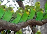 Parakeets on a stick