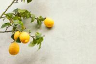 Lemon tree. Color Image