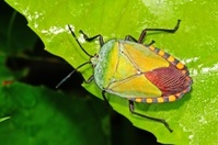 green shield bug and leaf in the parks
