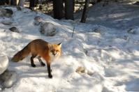 Curious Winter Fox