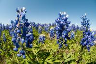 Texas Bluebonnets Close-up