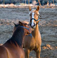 Horses Kissing