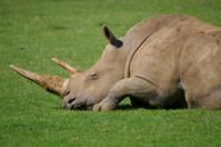 Sleeping White Rhino